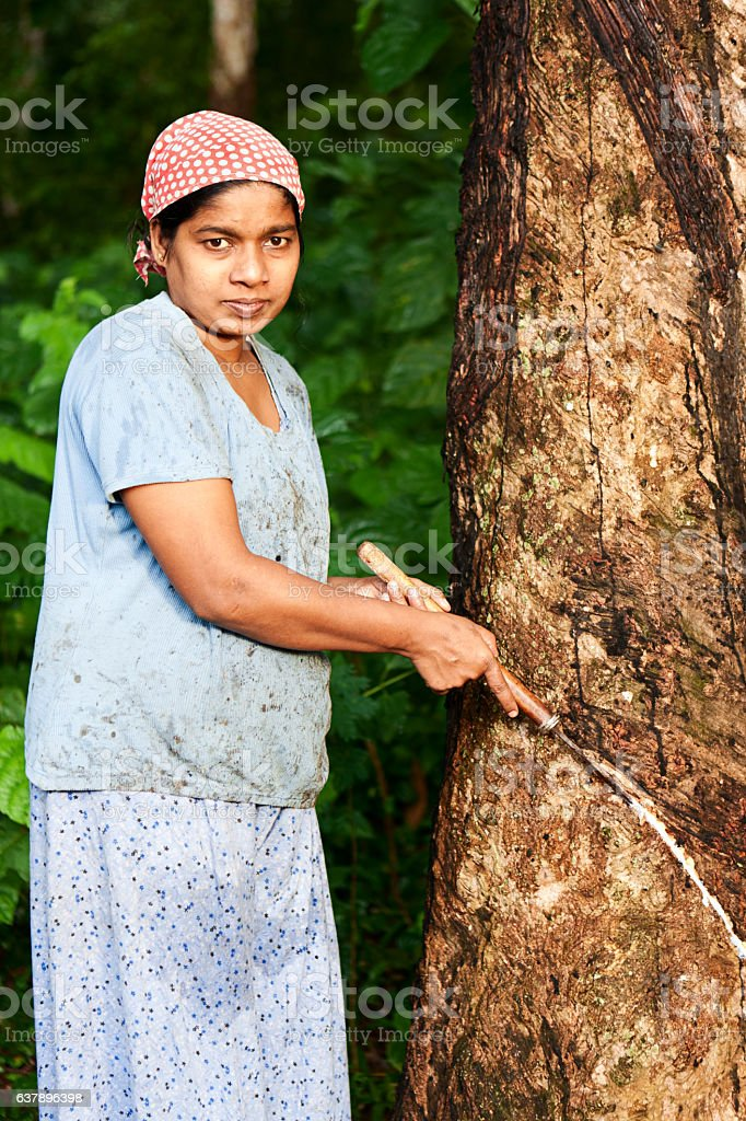 Woman collecting latex on the rubber tree plantation, Sri Lanka stock photo