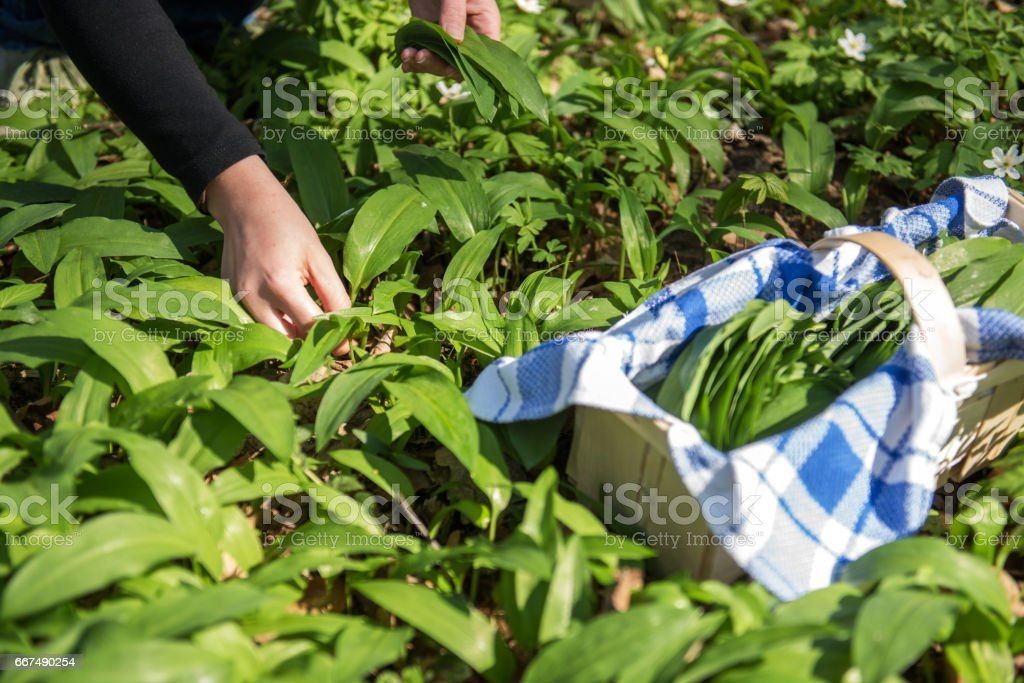 Woman collecting wild garlic, Germany, Europe stock photo