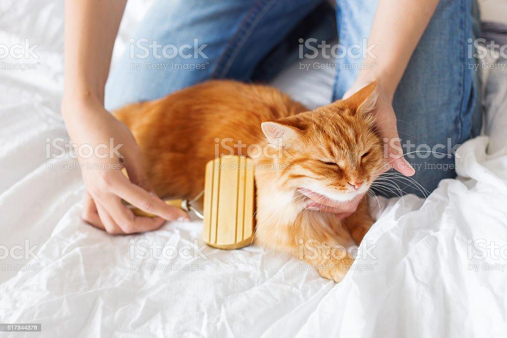 Woman combs a dozing cat's fur. stock photo