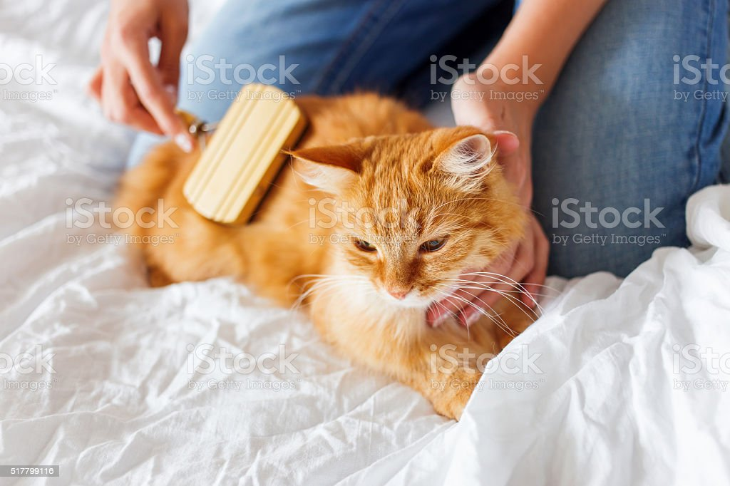 Woman combs a dozing cat's fur. stock photo