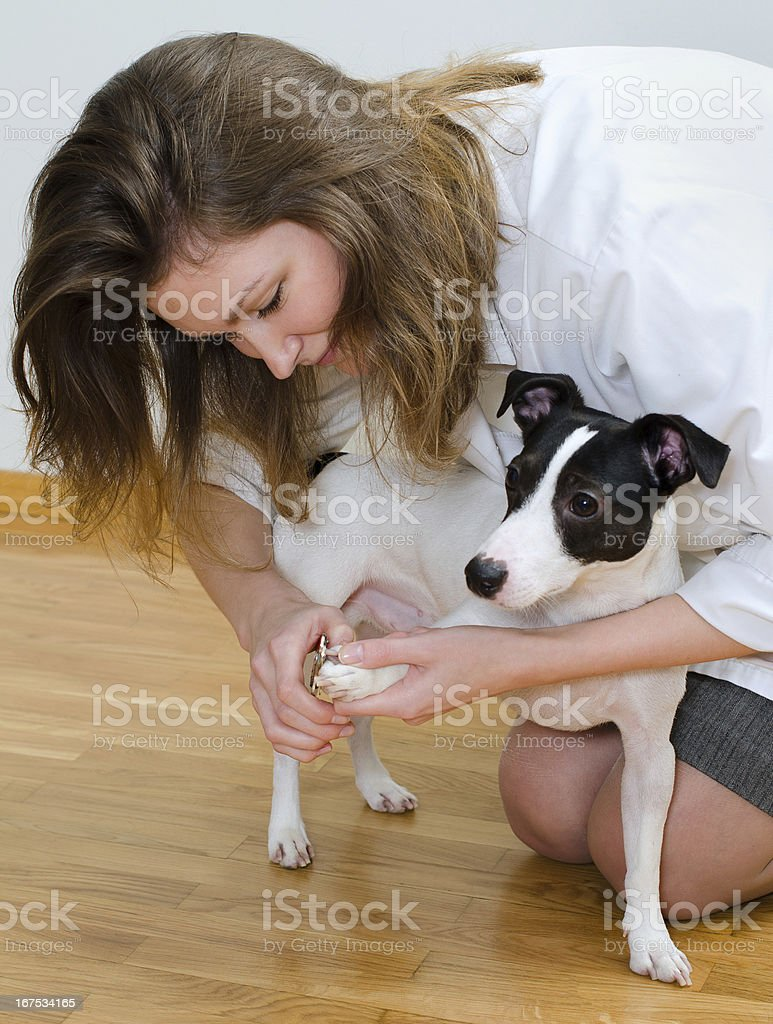 Woman cutting her small dog claws royalty-free stock photo