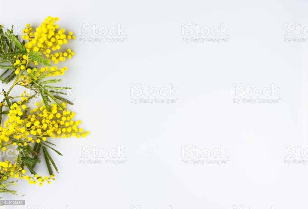 Woman day, mimosa on a white background stock photo
