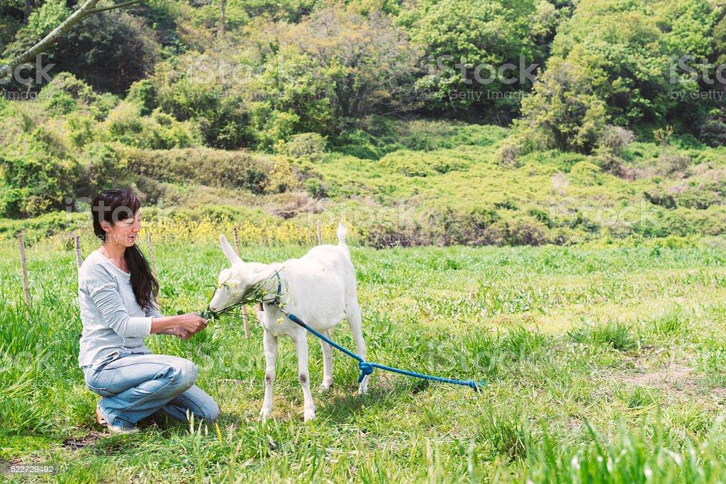 Woman feeding a goat in a field stock photo