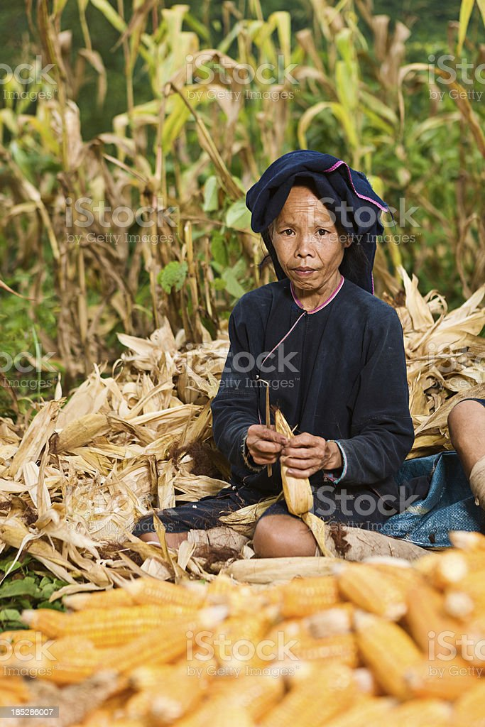 Woman from Lantan hill tribe harvesting corn in Northern Laos stock photo