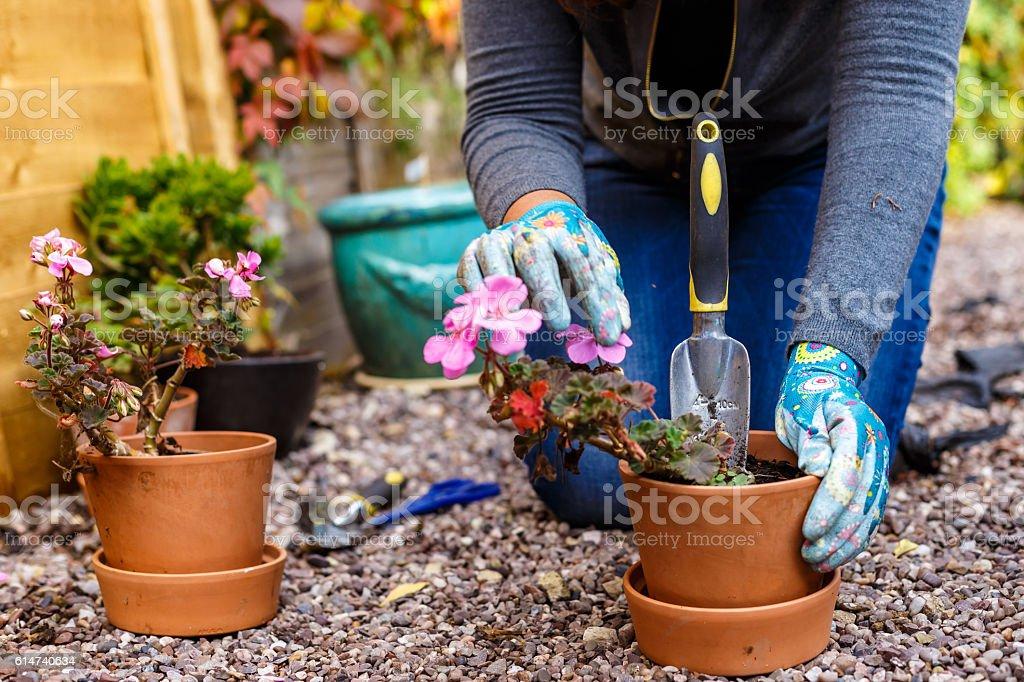 Woman gardening in the autumn stock photo
