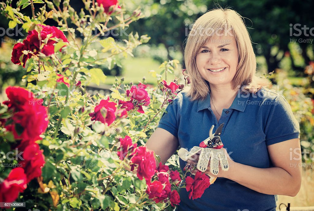 Woman gardening red roses and holding horticultural tools on sun stock photo
