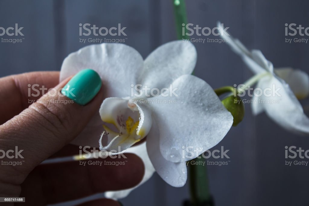 woman hand and white orchid on wooden background stock photo