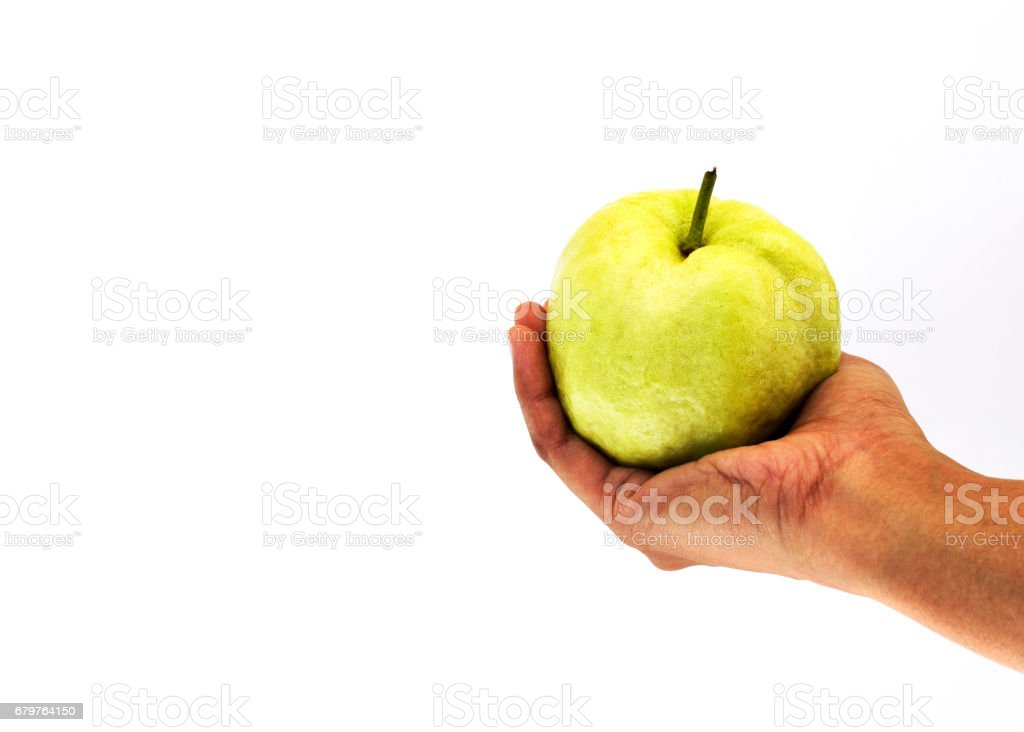 woman hand holding fresh guava fruits on white background stock photo