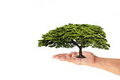 Woman hand holding green tree isolated on white background