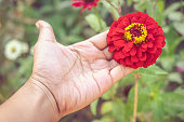 Woman hand touching red flower  in the garden