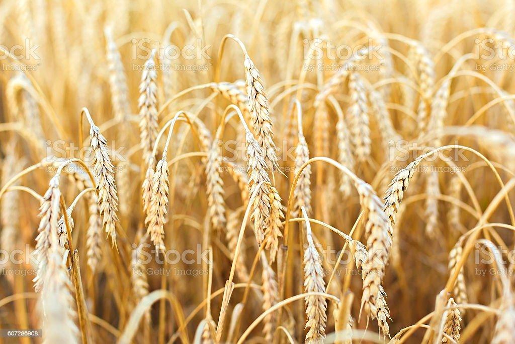 Woman hand touching wheat stock photo