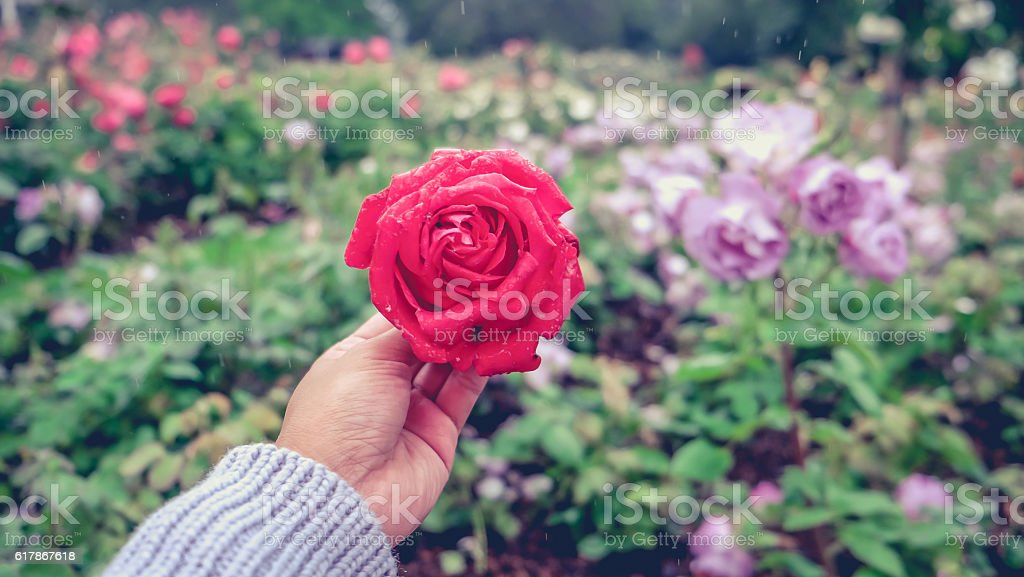 Woman hands holding a blossom red rose stock photo