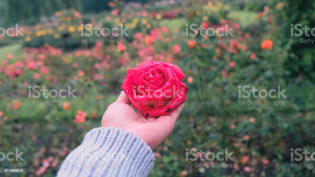 Woman hands holding a red rose flower in the park stock photo