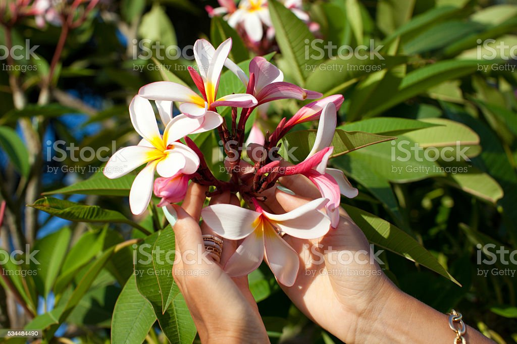 Woman hands holding plumeria flowers. stock photo