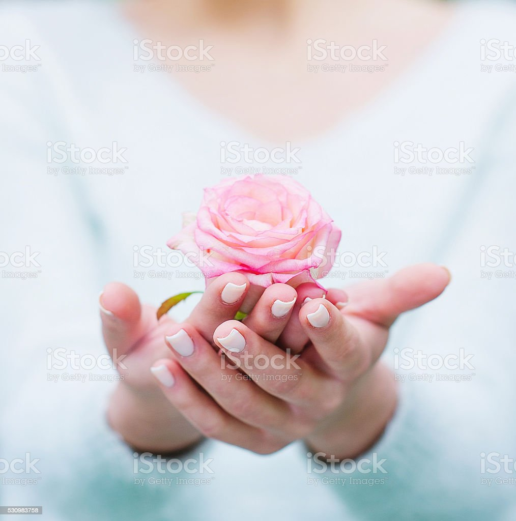 Woman hands holding rose flower stock photo