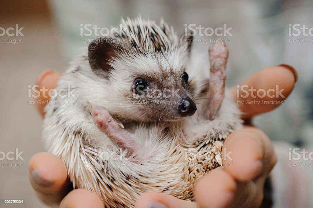 Woman hands holding white african hedgehog stock photo