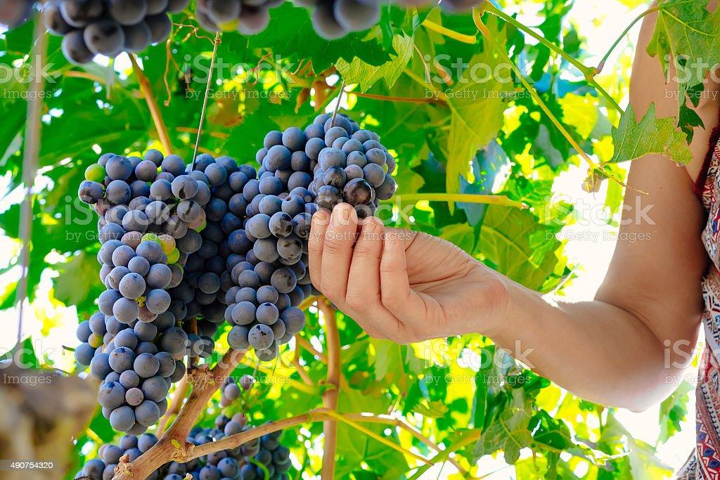 Mulher as mãos durante a colheita da uva vinho de colheita foto royalty-free