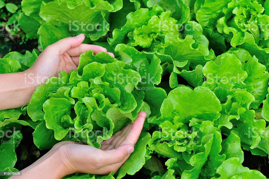 woman hands picking green lettuce in vegetable garden stock photo