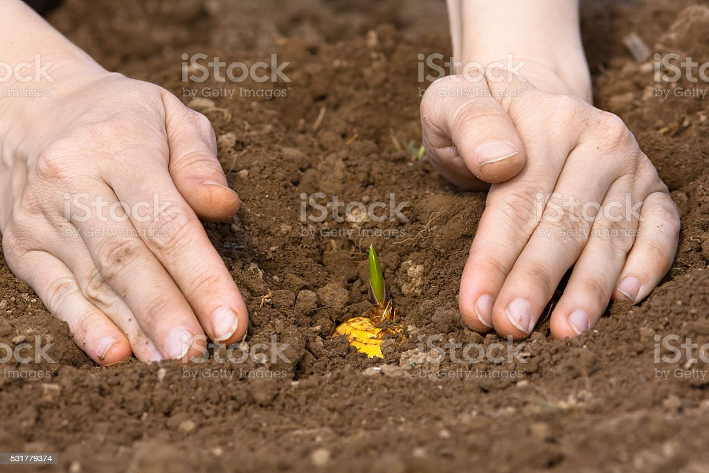 woman hands planting gladiolus bulb stock photo
