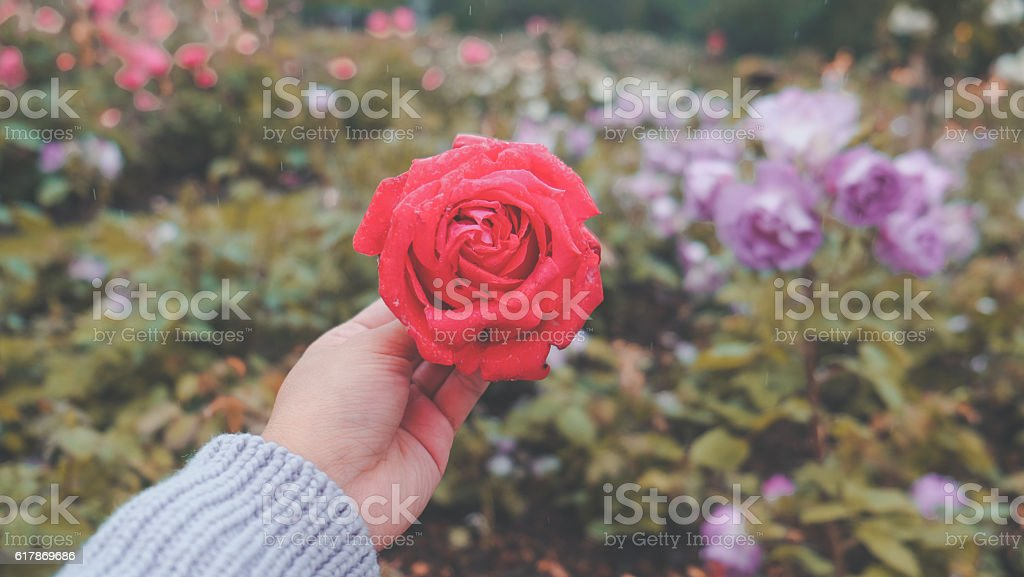 Woman hands showing a blossom red rose stock photo