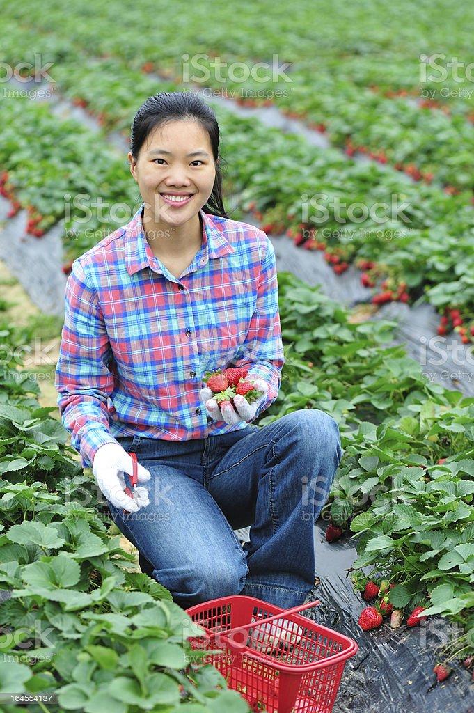 woman harvest strawberry royalty-free stock photo