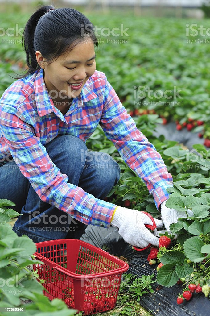 woman harvest strawberry royalty-free stock photo