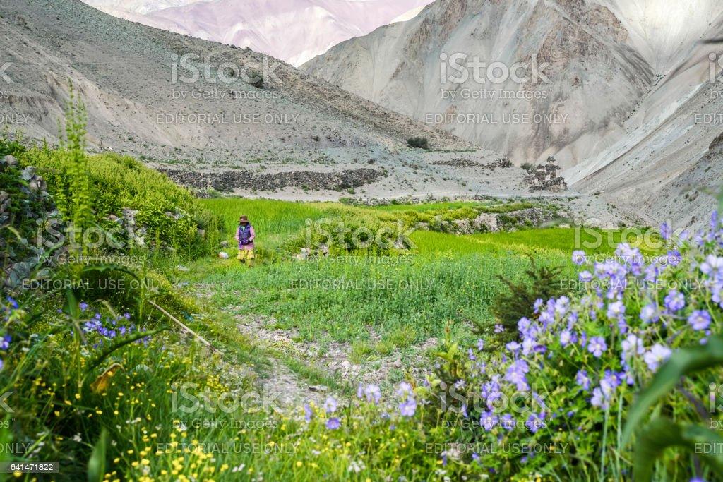 Woman harvesting at Yurutse homestay along the Markha valley trek (Ladakh) stock photo