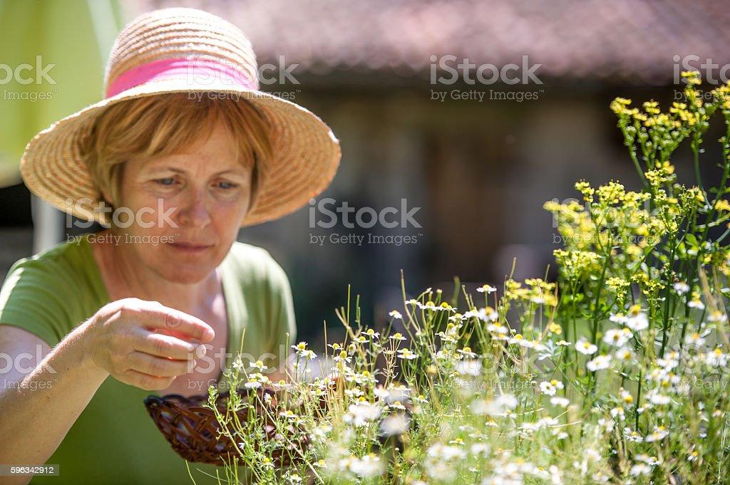 Woman Harvesting Chamomile stock photo