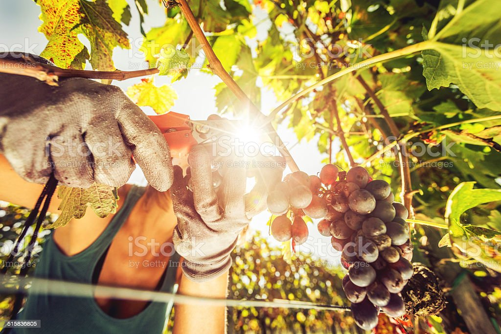 Woman harvesting grape in Tuscany stock photo