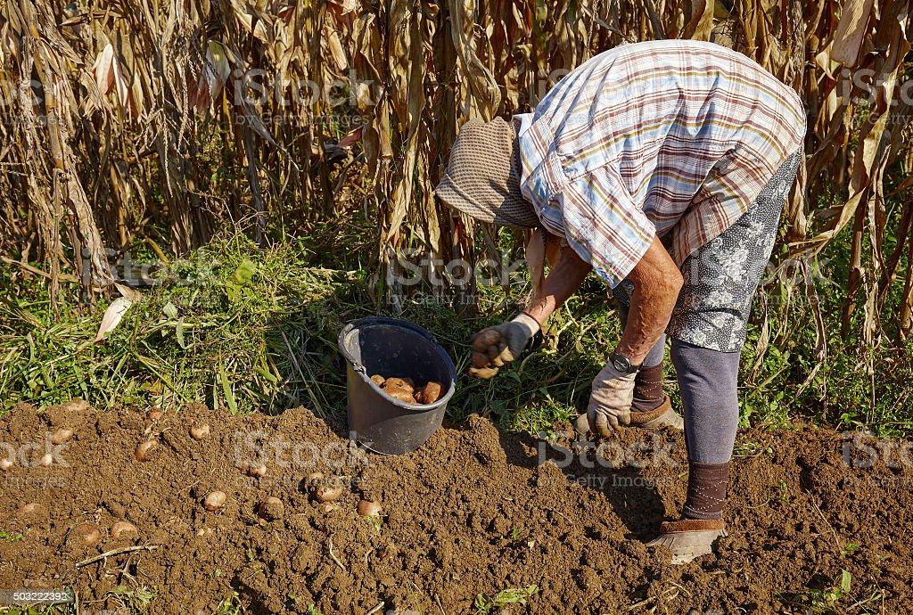 Woman harvesting potatoes stock photo