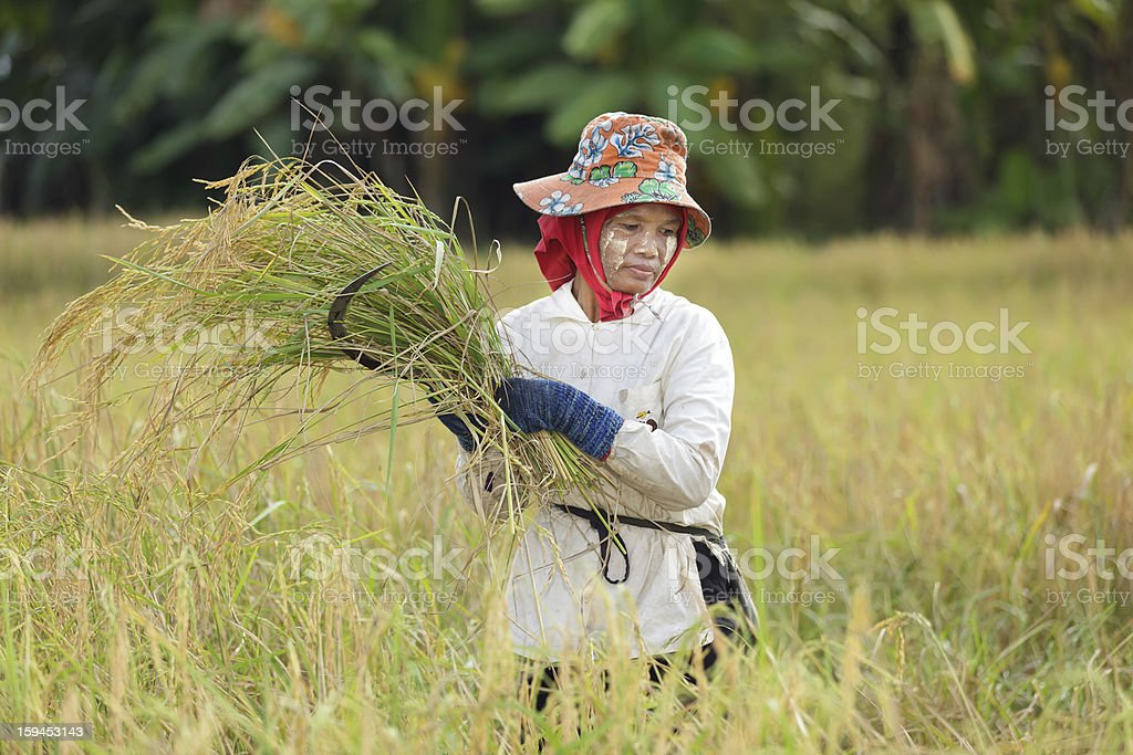 Woman harvesting rice royalty-free stock photo