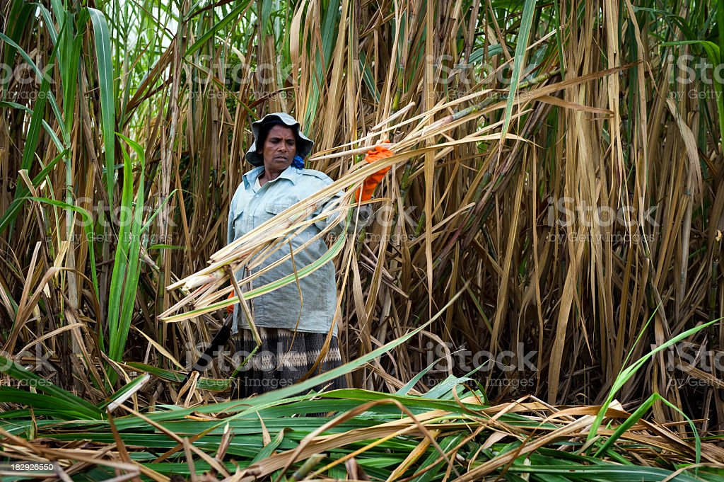 A woman harvesting sugar cane in the field stock photo
