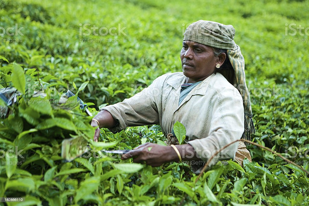 Woman harvesting tea leaves royalty-free stock photo