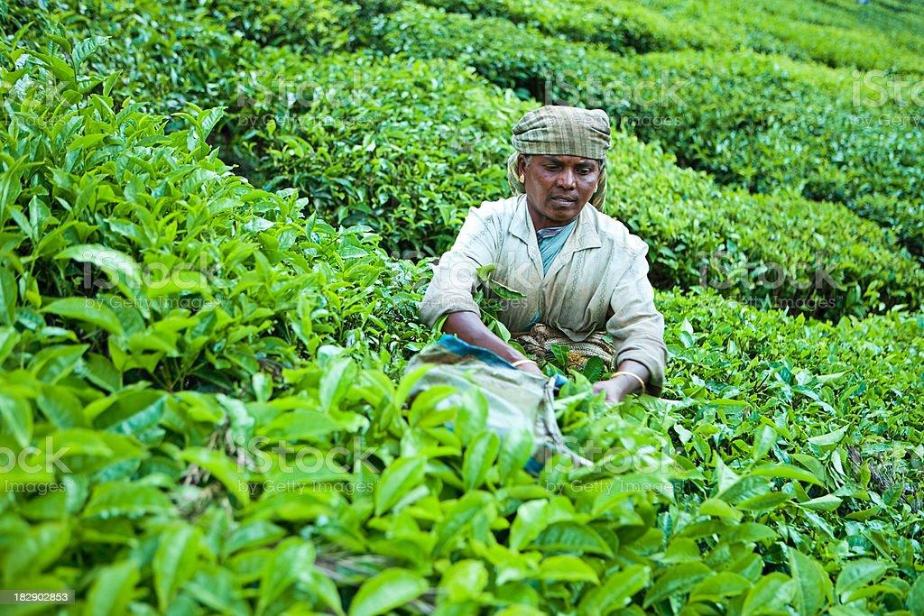 Woman harvesting tea leaves royalty-free stock photo