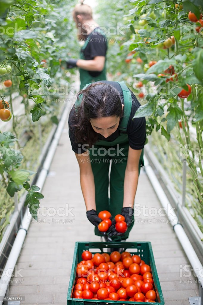 Woman harvesting tomatoes from greenhouse stock photo