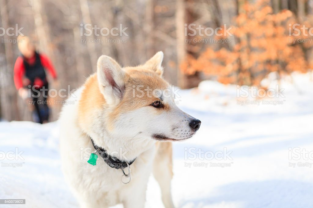 Woman hiking in winter forest with akita dog. stock photo