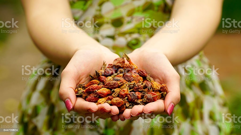 Woman holding a dried rose hips stock photo