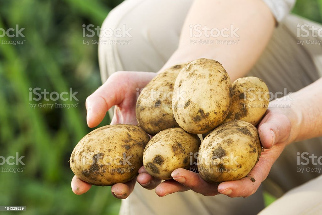 Woman holding a handful of garden potatoes royalty-free stock photo