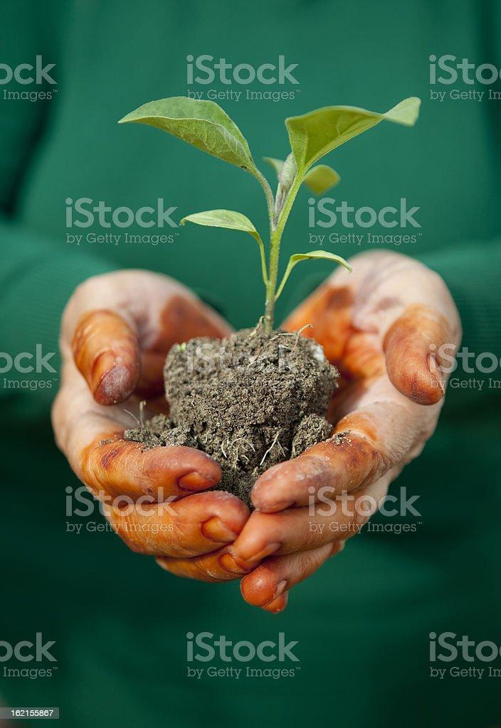 Woman holding eggplant seedling royalty-free stock photo