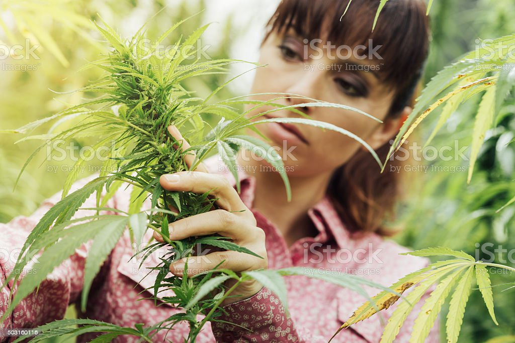 Woman holding hemp flowers stock photo