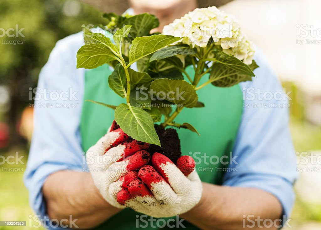Woman holding hydrangea in hands royalty-free stock photo