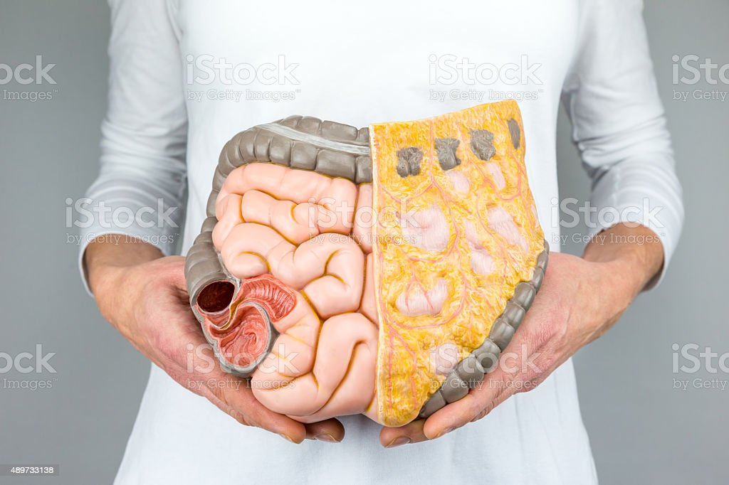 Woman holding model of human intestines in front of body stock photo