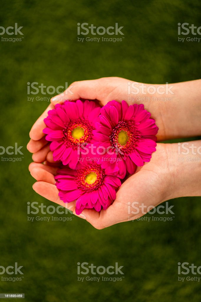 Woman holding red blossoms in hands royalty-free stock photo