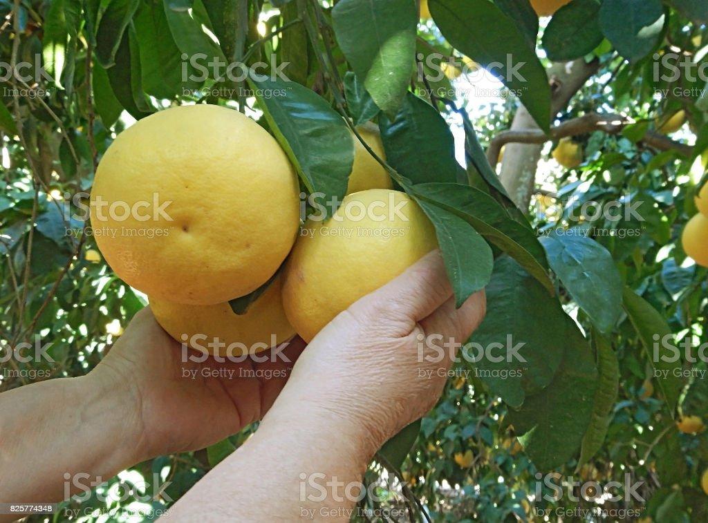 woman holding ripe grapefruit stock photo