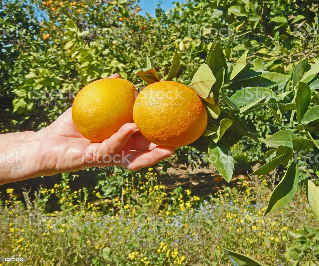 woman holding ripe oranges stock photo