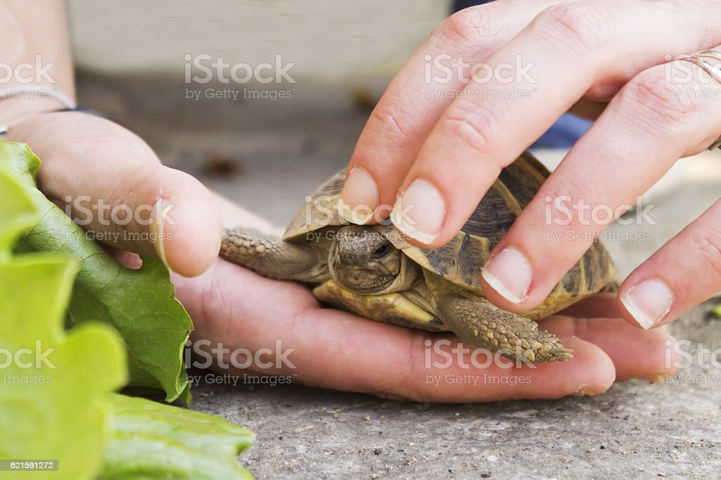 Woman holds a turtle stock photo