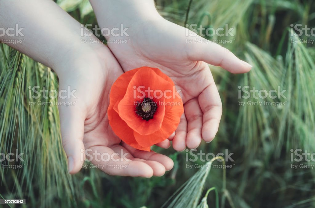 Woman holds red poppy in hands in the field in summer stock photo