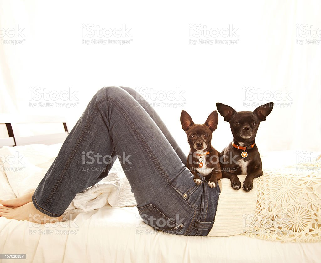 Woman in bed with two Chihuahua dogs on her lap stock photo