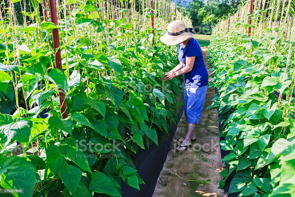 Woman in garden or farm with bean plants royalty-free stock photo