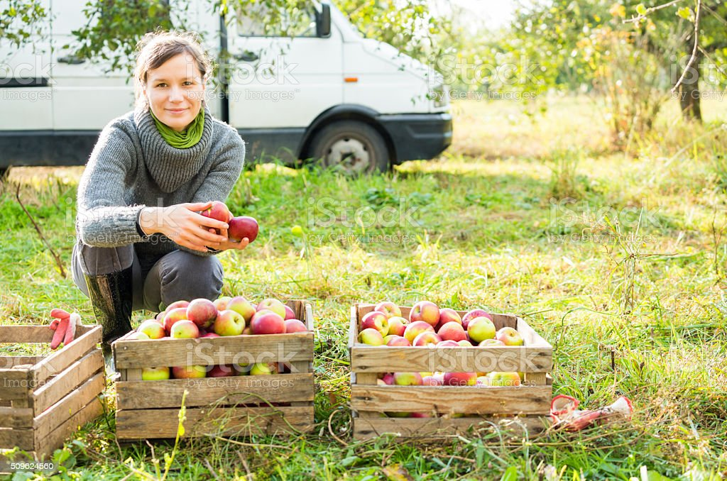 Woman in organic apple orchard during autumn harvest. stock photo